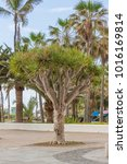 dragon tree on the canary... | Shutterstock . vector #1016169814