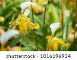beautiful orchid in the garden | Shutterstock . vector #1016196934
