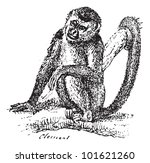 Squirrel Monkey or Saimiri sp., vintage engraved illustration. Dictionary of Words and Things - Larive and Fleury - 1895