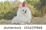White Pomeranian Dog Wearing...