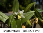 dendrobium scabrilingue lindi... | Shutterstock . vector #1016271190