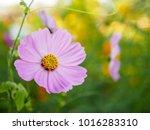 close up detail of a light pink ... | Shutterstock . vector #1016283310