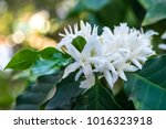 coffee tree blossom with white... | Shutterstock . vector #1016323918