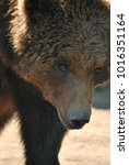 Small photo of Brown bear portrait, brown bear in the wild, close up of brown bear