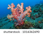 red soft coral on the... | Shutterstock . vector #1016362690