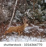 beautiful buck or stag with... | Shutterstock . vector #1016366770