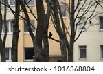birds in the city   crows on a... | Shutterstock . vector #1016368804