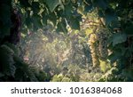 nature frame with white grapes...   Shutterstock . vector #1016384068