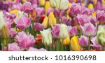 Beautiful Multi Colored Tulips...
