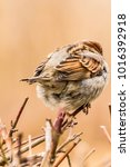 male or female house sparrow or ... | Shutterstock . vector #1016392918
