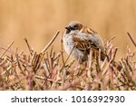 male or female house sparrow or ... | Shutterstock . vector #1016392930