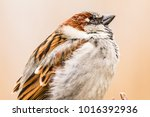 male or female house sparrow or ... | Shutterstock . vector #1016392936