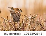 male or female house sparrow or ... | Shutterstock . vector #1016392948