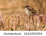 male or female house sparrow or ... | Shutterstock . vector #1016392954