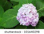 Violet Hortensia In Thailand