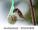 Hungry Eurasian Tree Sparrows...
