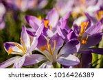 crocus  plural crocuses or...   Shutterstock . vector #1016426389