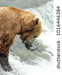 wild brown grizzly bear eating... | Shutterstock . vector #1016446384