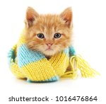 kitten in a blue scarf isolated ... | Shutterstock . vector #1016476864