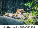 A Couple Of Lions Cuddling