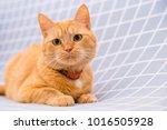 cute red cat   Shutterstock . vector #1016505928