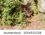 the spotted hyena  crocuta... | Shutterstock . vector #1016521228