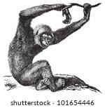 Agile Gibbon  Hylobates Agilis...