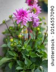 violet dahlia flowers.   Shutterstock . vector #1016557090