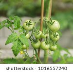 green tomatoes on the vine.   Shutterstock . vector #1016557240