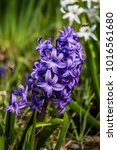 first blooms  purple hyacinths | Shutterstock . vector #1016561680