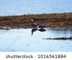 Emperor Geese Foraging