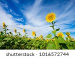 a bright and vibrant sunflowers ... | Shutterstock . vector #1016572744