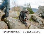 Labrador Retriever Mastiff Mix...