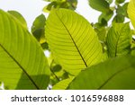 leaf of mitragyna speciosa... | Shutterstock . vector #1016596888