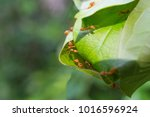 nest ant on tree in natural... | Shutterstock . vector #1016596924