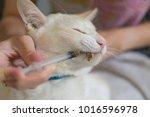 women giving a drug to a cat... | Shutterstock . vector #1016596978
