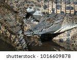 saltwater crocodile farm ... | Shutterstock . vector #1016609878