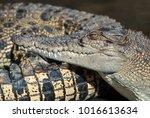 saltwater crocodile farm ... | Shutterstock . vector #1016613634