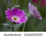 pink gerbera jamesonii flower.... | Shutterstock . vector #1016632420