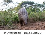 indian pangolin or anteater ... | Shutterstock . vector #1016668570