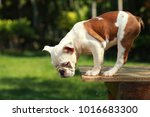 english bulldog in natural... | Shutterstock . vector #1016683300