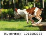 English Bulldog In Natural...