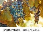 autumn vineyard with ripe...   Shutterstock . vector #1016719318