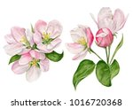 Stock photo hand painted watercolor illustration of apple blossom with buds and leaves 1016720368