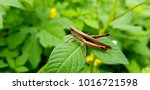 macro photograpy. grasshopper... | Shutterstock . vector #1016721598