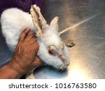 Small photo of Rabbit with clinical sign of sarcoptic mange infection.Sarcoptic mange or scabies is a contagious parasitic disease caused by mite called Sarcoptes scabiei that affects animals and people