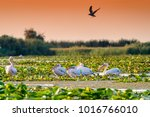 pelicans in the danube delta ... | Shutterstock . vector #1016766010