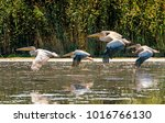 flying pelican colony in the... | Shutterstock . vector #1016766130