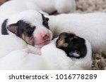 brood newborn puppies breed... | Shutterstock . vector #1016778289
