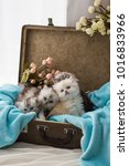 Stock photo kittens sitting in suitcase with flowers and blue wrap cute photo light background text or 1016833966